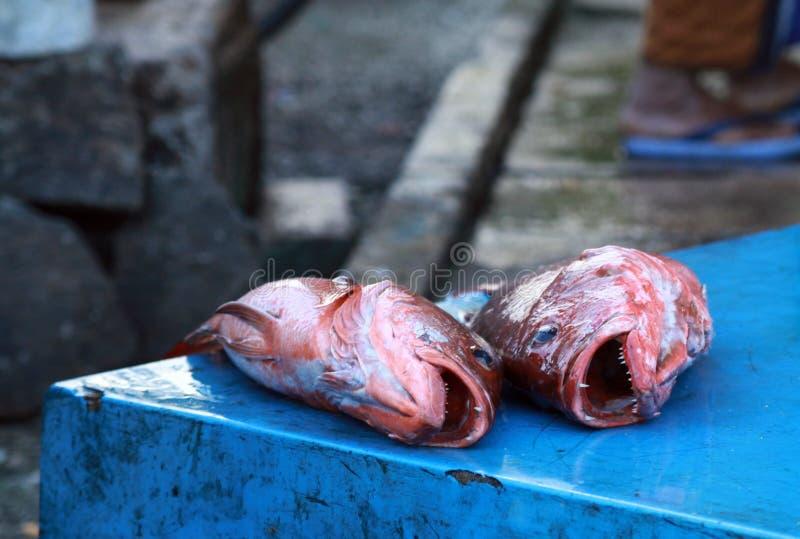 Ciérrese para arriba del pargo rojo cogido dos con el blackground azul en mercado de pescados cerca de Hikkaduwa, Sri Lanka imagen de archivo libre de regalías