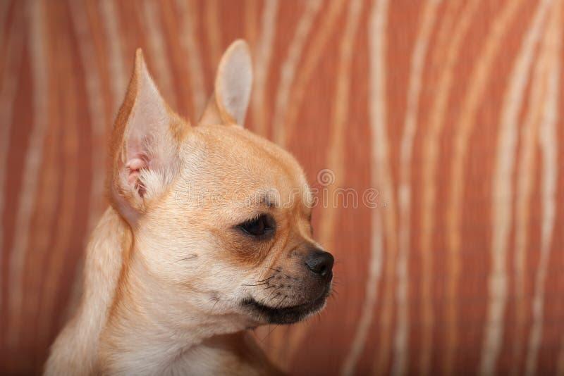 Ciérrese para arriba del perrito de la chihuahua que se sienta en el sofá, 4 meses del fema fotografía de archivo libre de regalías