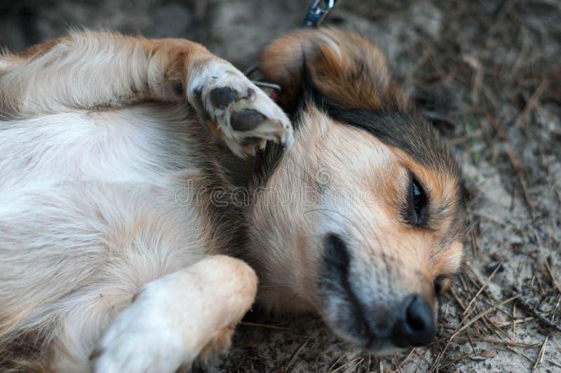 Ciérrese para arriba del perro marrón lindo que miente en la tierra fotografía de archivo