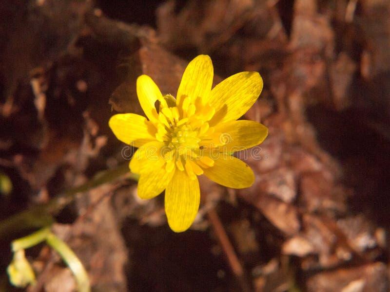 ciérrese para arriba del piso bonito creciente amarillo de la flor de la primavera - ficaria L del ranúnculo - Lesser Celandine fotografía de archivo libre de regalías