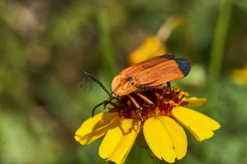 Ciérrese para arriba del terminale Red-con alas Hooked de Calopteron del escarabajo en la flor tiesa de Greenthread Tejas del oes foto de archivo