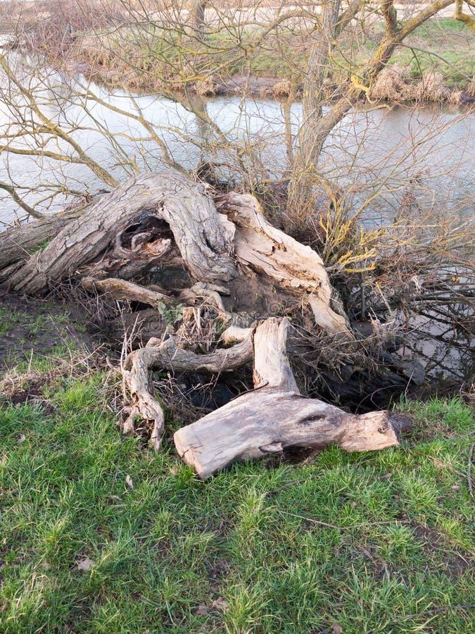 ciérrese para arriba del tocón desnudo caido Reino Unido del tronco de árbol foto de archivo