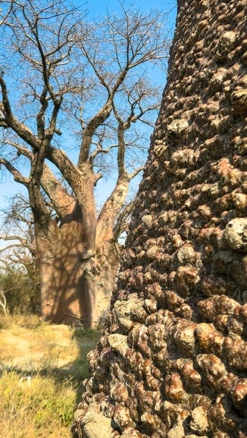Ciérrese para arriba del tronco de árbol del árbol de Boabab y de un boabab en el fondo fotos de archivo