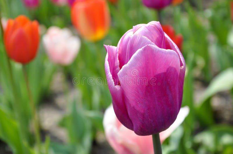 Ciérrese para arriba del tulipán púrpura vibrante, flores de la primavera fotos de archivo
