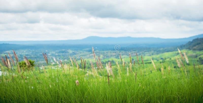 Ciérrese para arriba del viento del poaceae con el fondo del paisaje y del cielo nublado , Flor de la hierba del Poaceae fotos de archivo