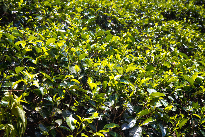 Ciérrese para arriba, el extracto, textura de las plantas de té en las montañas del senior imágenes de archivo libres de regalías