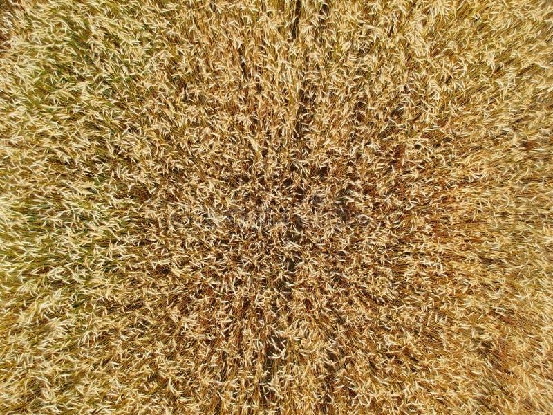 Ciérrese para arriba en el campo de trigo, visión superior aérea imágenes de archivo libres de regalías