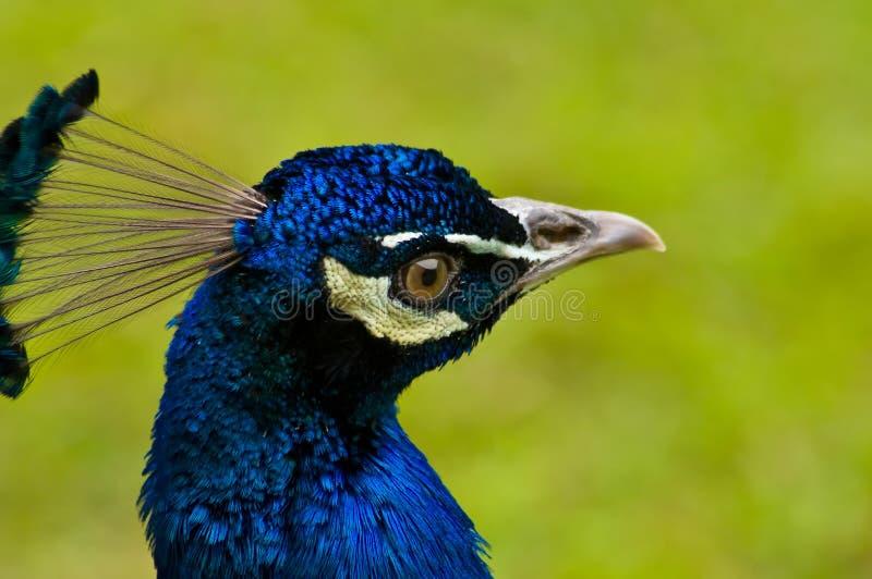Ciérrese para arriba en la cabeza hermosa del pavo real imagen de archivo