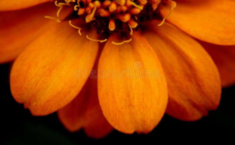 Ciérrese para arriba en la flor del Zinnia en Mississippi junio fotografía de archivo