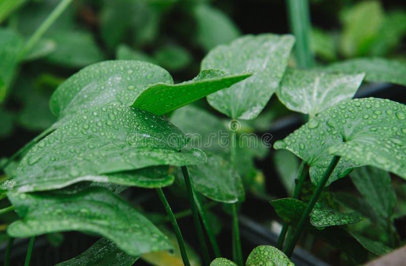 Ciérrese para arriba en la planta verde del alismataceae imagen de archivo
