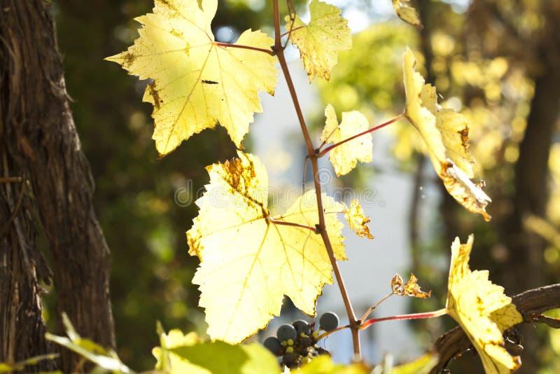 Ciérrese para arriba en las hojas de la uva foto de archivo