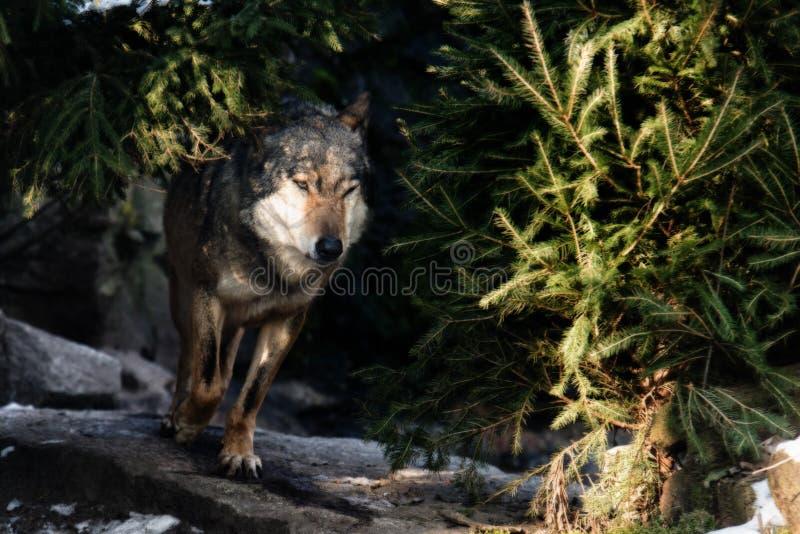 Ciérrese para arriba en lobo corriente en el bosque imágenes de archivo libres de regalías