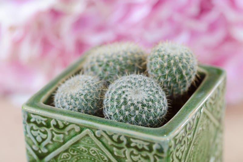 Ciérrese para arriba en los mini cactus foto de archivo libre de regalías