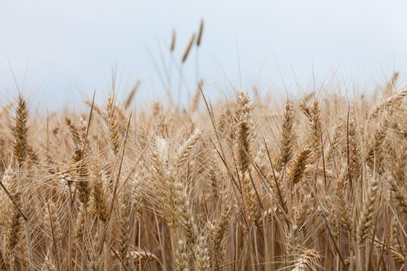 Ciérrese para arriba en los oídos maduros del trigo en tiempo de cosecha imágenes de archivo libres de regalías