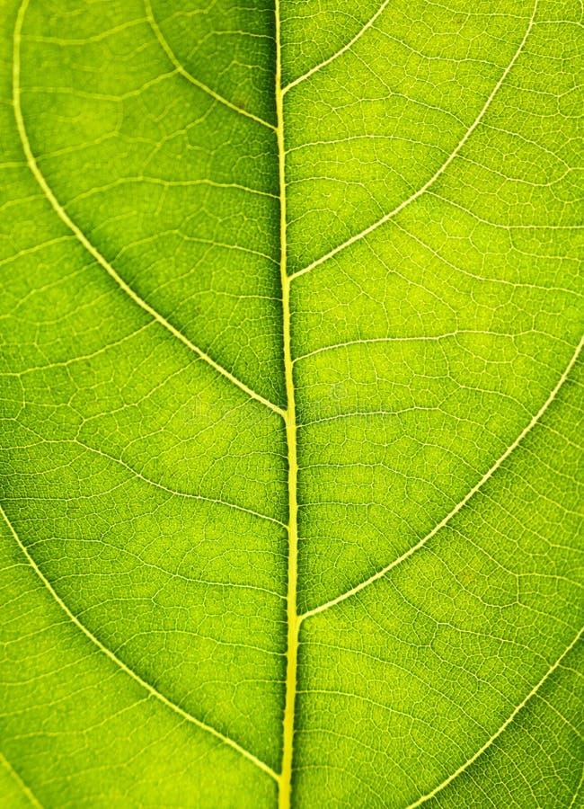 Ciérrese para arriba en textura verde de la hoja La hoja vetea el fondo macro de la visión fotografía de archivo libre de regalías