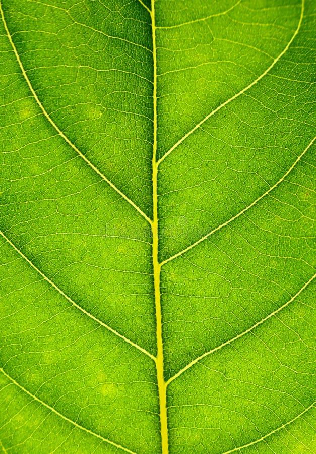 Ciérrese para arriba en textura verde de la hoja La hoja vetea el fondo macro de la visión imágenes de archivo libres de regalías