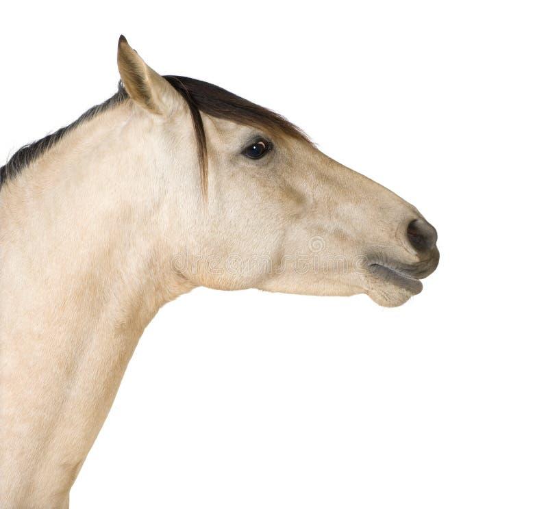 Ciérrese para arriba en un caballo imagen de archivo