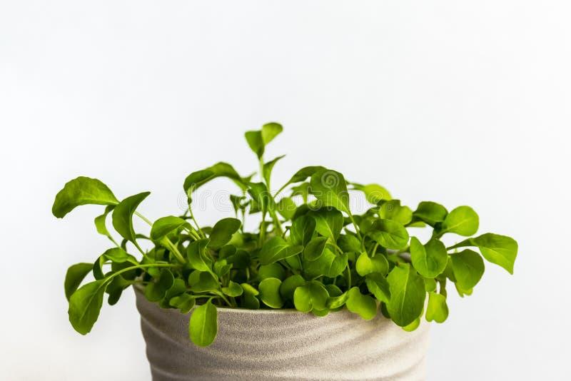Ciérrese para arriba en un pote beige con rukola verde fotografía de archivo libre de regalías