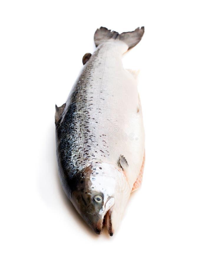 Ciérrese para arriba en un rawsalmon entero aislado en blanco imagen de archivo
