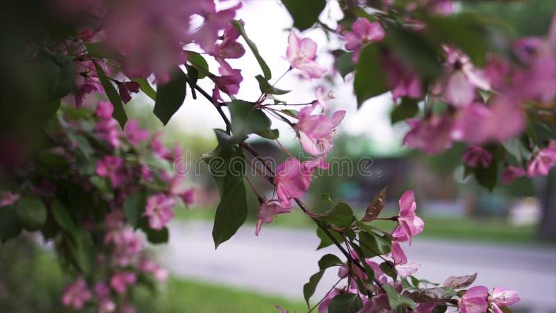 Ciérrese para arriba para la rama rosada brillante de la cereza en fondo de la calle de la ciudad, el flor de la primavera y el c foto de archivo libre de regalías