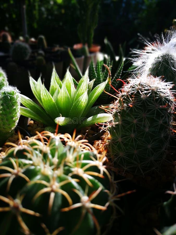 Ciérrese para arriba y el centrarse selectivo en el cactus por la mañana con la luz natural fotografía de archivo