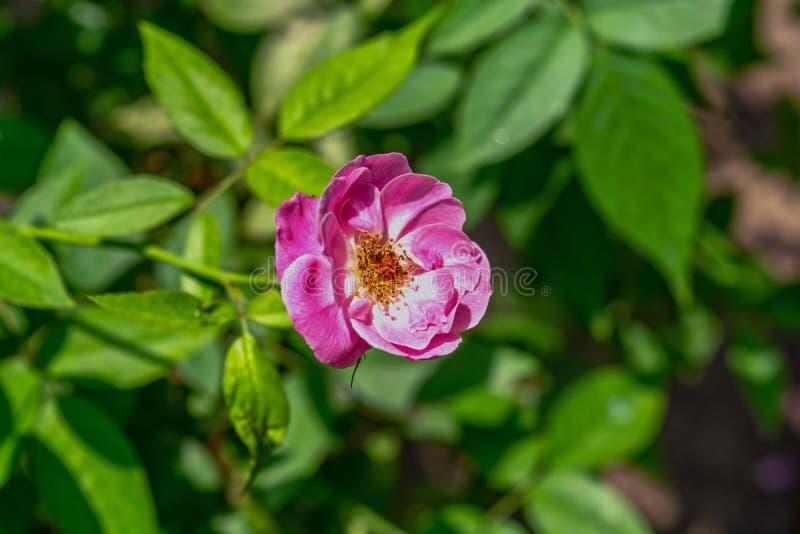 Ciérrese para arriba y vista lateral de la flor rosada hermosa Rose francesa de Rosa Gallica foto de archivo libre de regalías