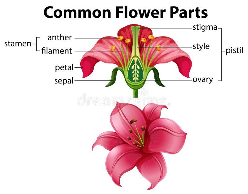 Ciência das peças comuns da flor ilustração stock