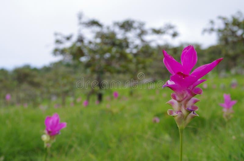 Ciò è tulipano del Siam immagini stock libere da diritti