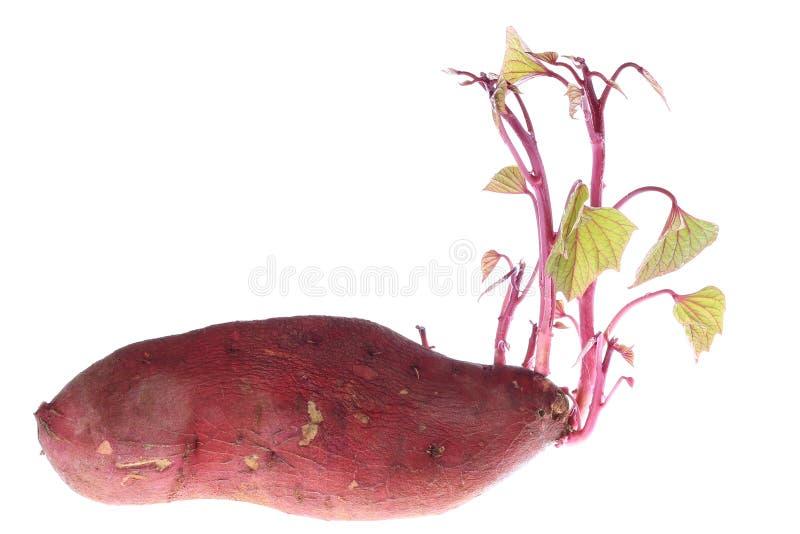 Germinazione delle patate dolci fotografie stock