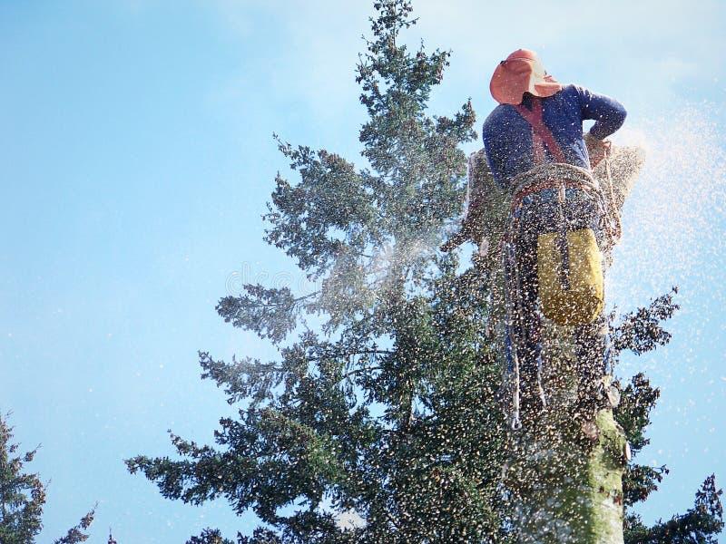 Ciąć w dół drzewa z piłą łańcuchową -2 zdjęcie royalty free