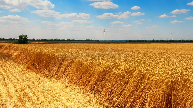 Ciągnik zbiera pszenicznego żniwo w polu obrazy stock