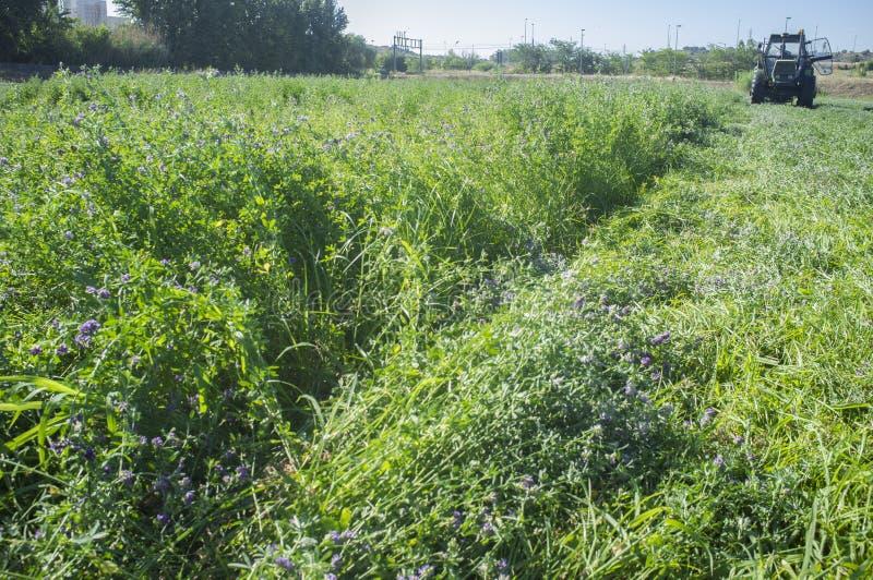 Ciągnikowy rozcięcie i swathing alfalfa obraz royalty free