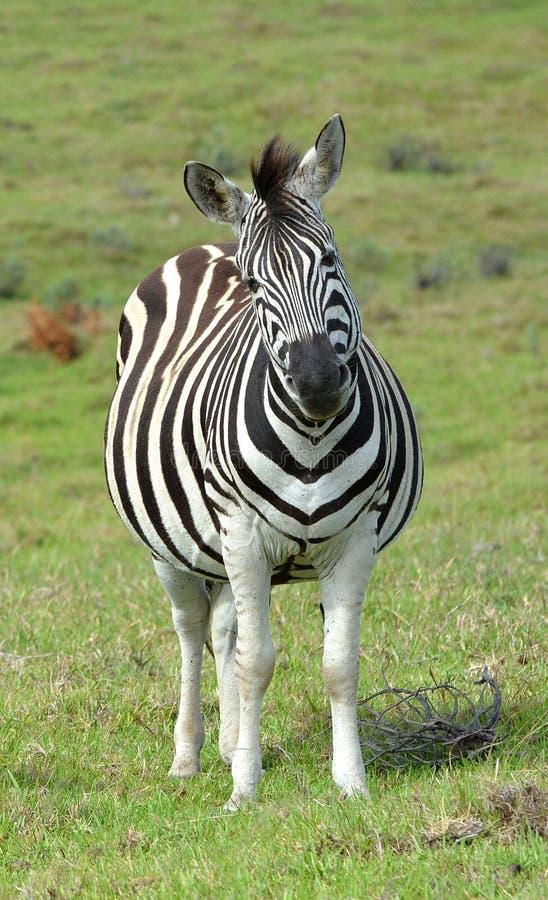 Ciężarna zebra z śmieszną twarzą obraz royalty free