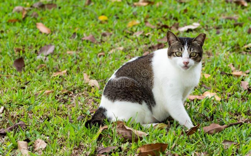 Ciężarny kota obsiadanie na trawach podczas gdy patrzejący kamerę fotografia royalty free