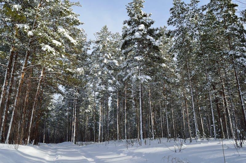 Ciężki śnieg na sosna lesie z małą lasową drogą obraz royalty free