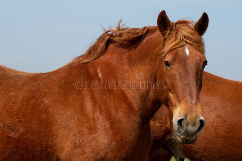 ciężki koń fotografia royalty free