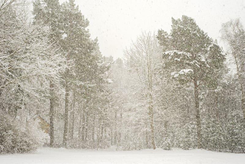 Ciężki opad śniegu w lesie fotografia royalty free