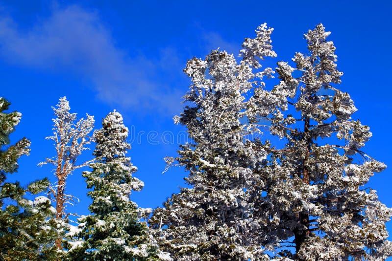 Ciężki opad śniegu w Sosnowym lesie fotografia stock