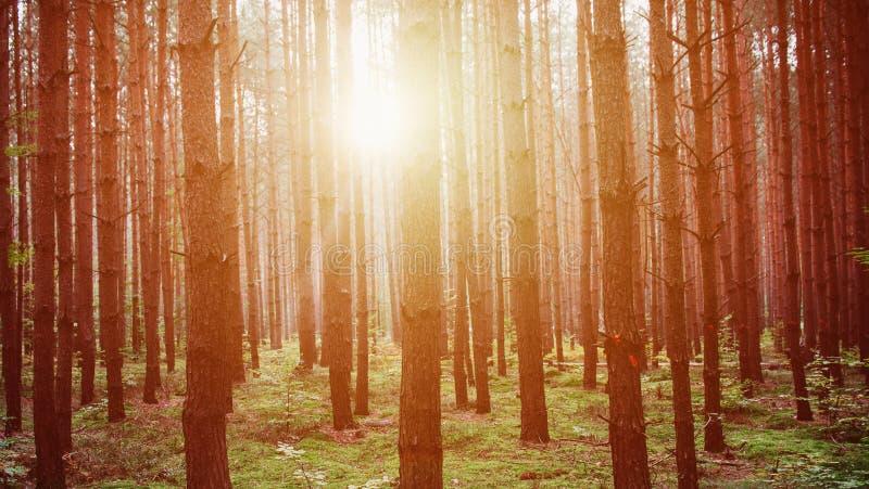 Ciężki wschód słońca po środku lasu obrazy royalty free