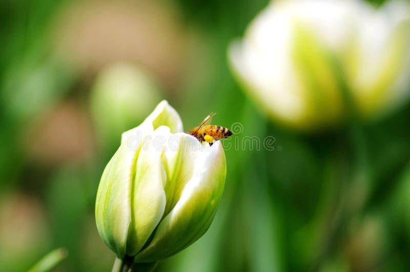 Ciężkie pracujące pszczoły zdjęcia stock