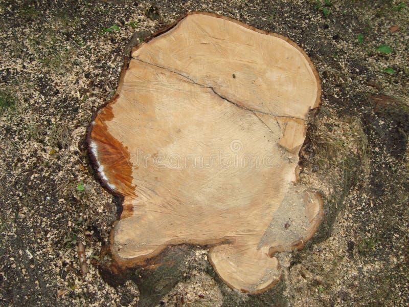 cięcia świeżo fiszorka drzewo Zakończenie obraz royalty free