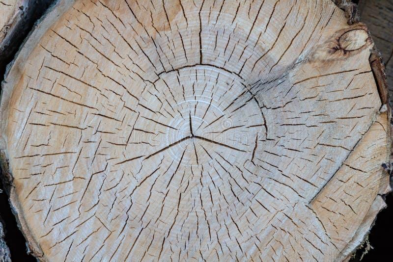 Cięcie drzewny bagażnik daje dobremu widokowi koncentryczny rok pierścionek zdjęcie stock