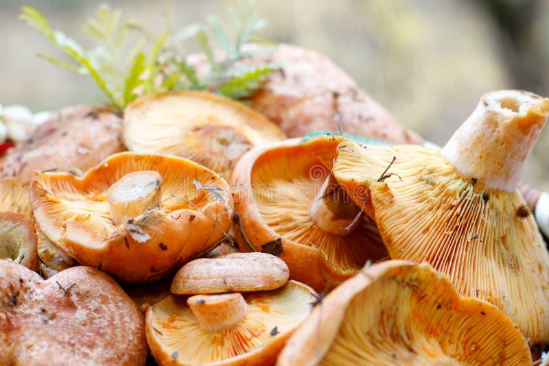 Ci?cy czerwony smakosz rozrasta si? Lactarius Wy?mienicie z ostrzem trawa w?a?nie od lasu obraz stock
