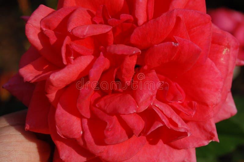 Ci?rrese de un rosado se alz? foto de archivo