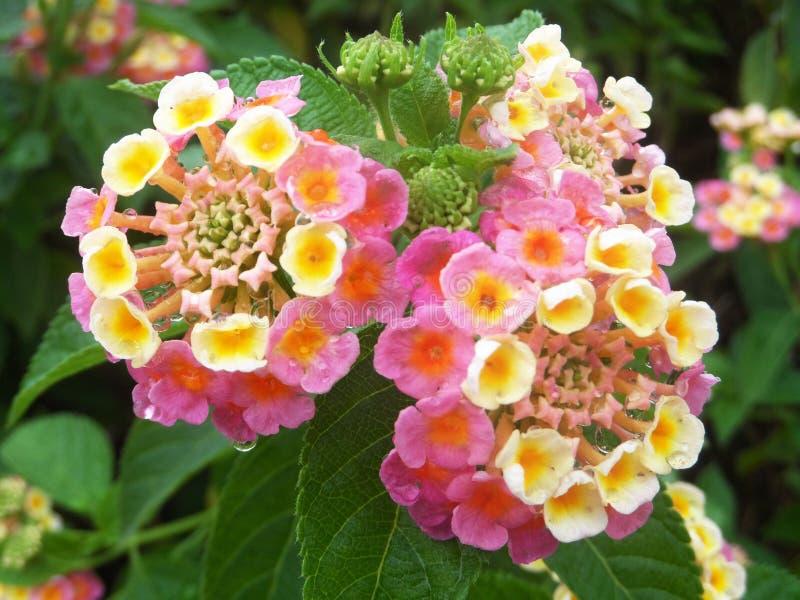 Ci?rrese encima de la flor rosada y amarilla hermosa del camara del Lantana que florece en un jard?n imágenes de archivo libres de regalías