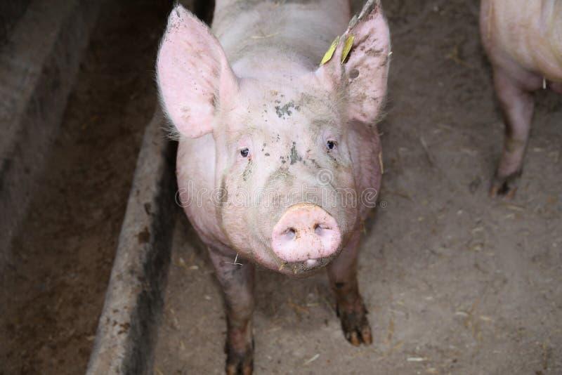 Ci?rrese encima de la foto del cerdo poderoso de la cerda fotografía de archivo libre de regalías