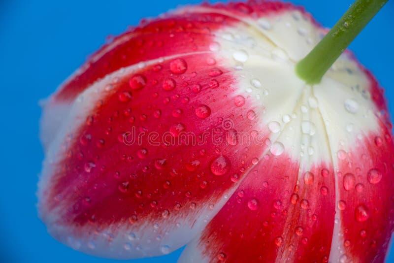 Ci?rrese encima de la sola flor del tulip?n en un fondo azul foto de archivo libre de regalías