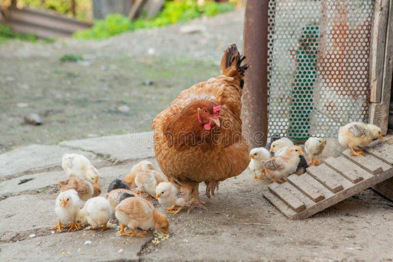 Ci?rrese encima de los polluelos amarillos en el piso, peque?os pollos amarillos hermosos, grupo de polluelos amarillos fotos de archivo libres de regalías