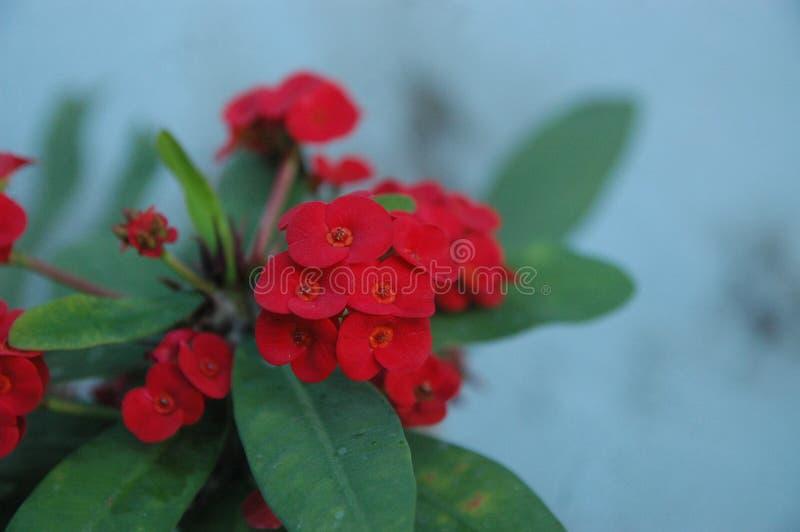 ci?rrese encima de rosas rojas fotos de archivo libres de regalías
