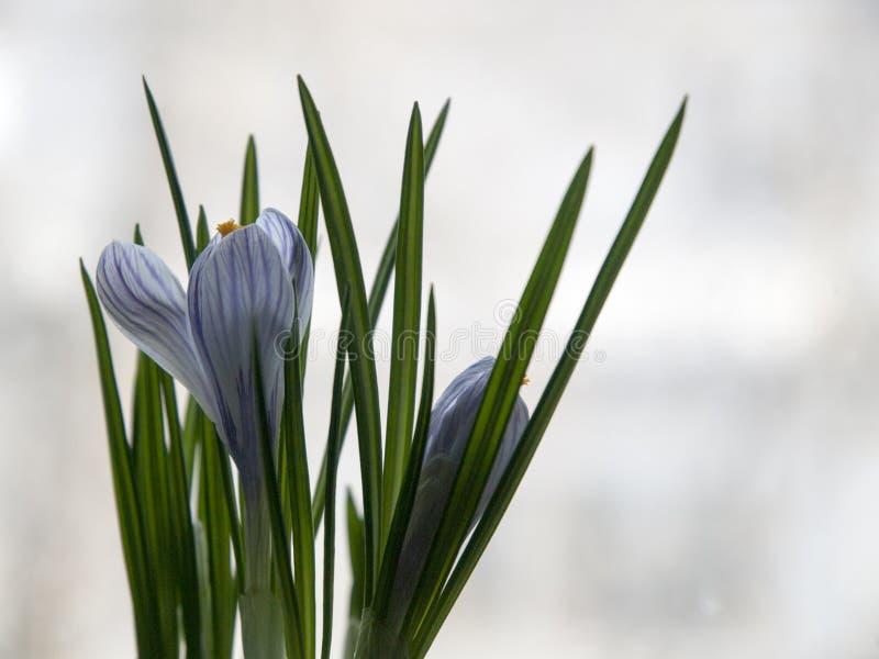 Ci?rrese para arriba de azafr?n de florecimiento p?rpura foto de archivo libre de regalías